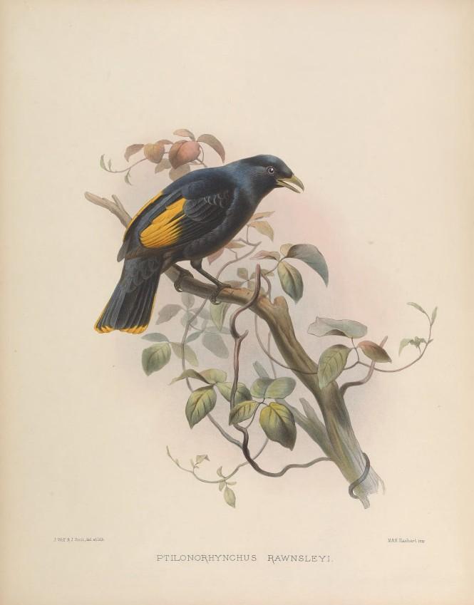 Rawnsley's_bowerbird