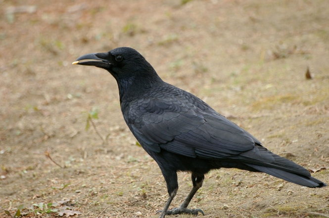 Eastern Carrion Crow.jpg