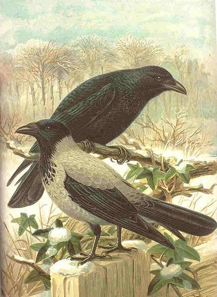 Ottenburghs-Crows