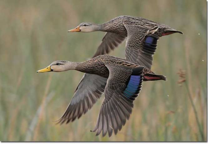 8-mottled-duck-pair-gl