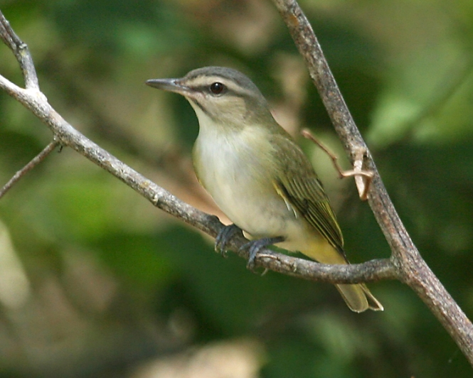 Black-whiskered-Vireo.jpg