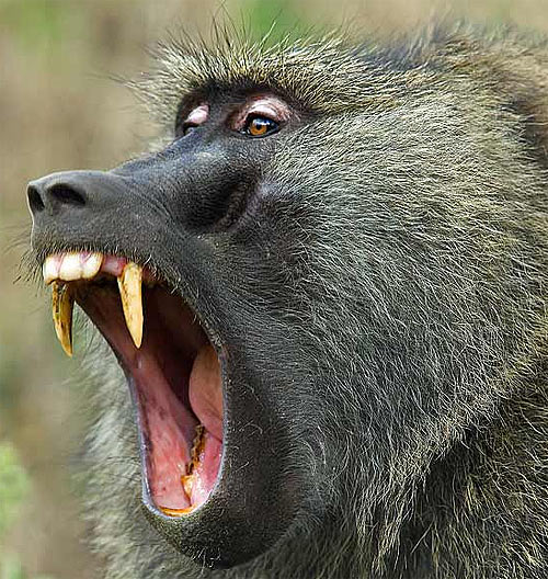 olive-baboon-teeth-mouth.jpg
