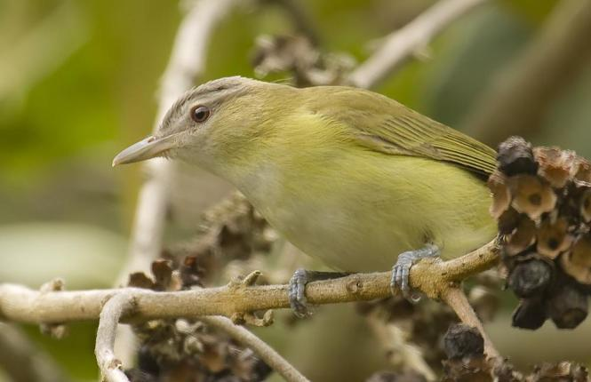 Yellow-green-Vireo.jpg