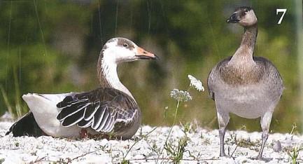 Threeway Goose Hybrid