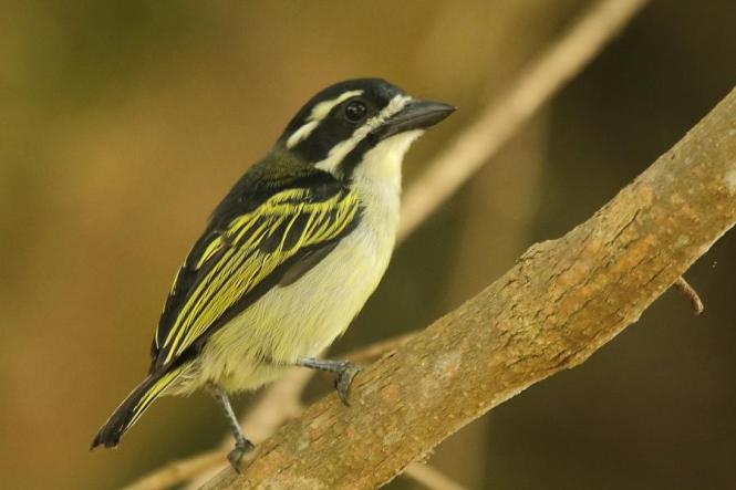 yellow-rumped tinkerbird.jpg
