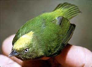 golden-crowned manakin.jpg