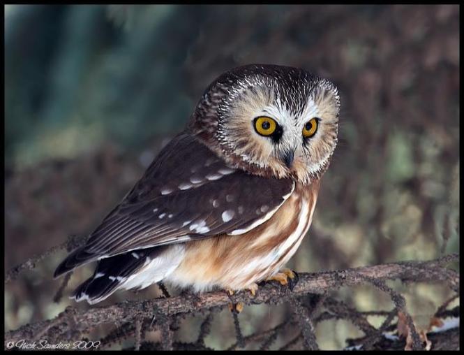 saw-whet owl.jpg