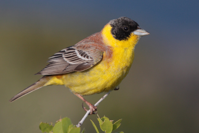 black-headed-bunting.jpg