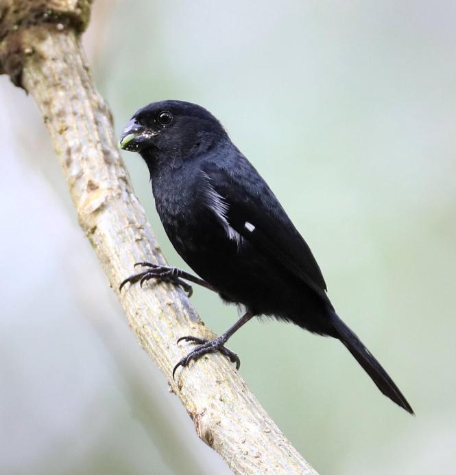 black seedeater