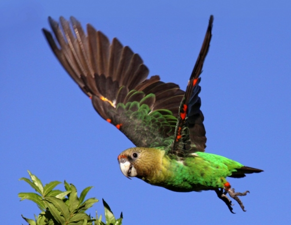 cape parrot.jpg