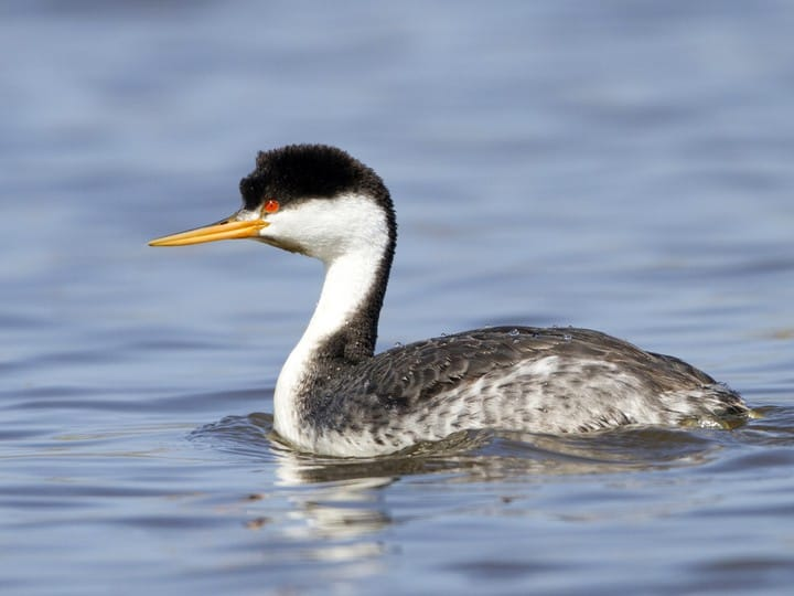 Image result for Grebe