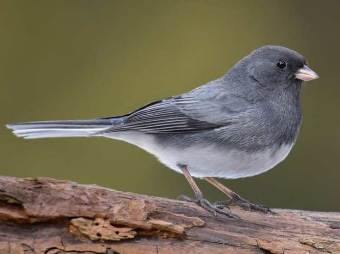 Dark-eyed Junco.jpg