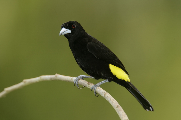Flame-rumped_Tanager yellow.jpg