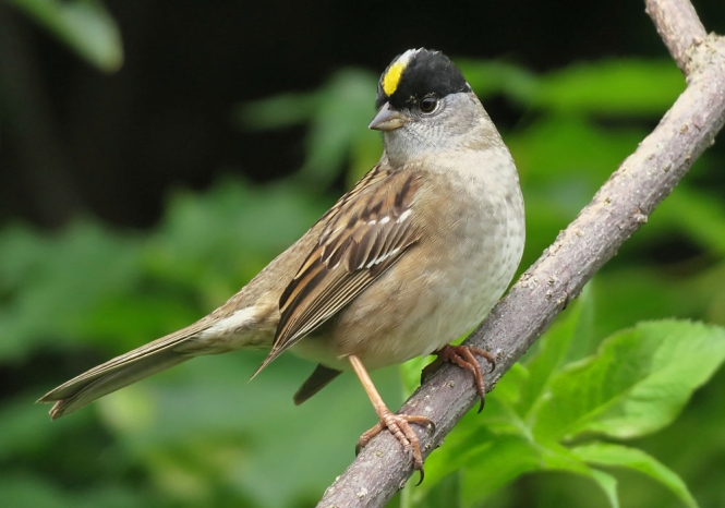 Golden-crowned Sparrow.jpg