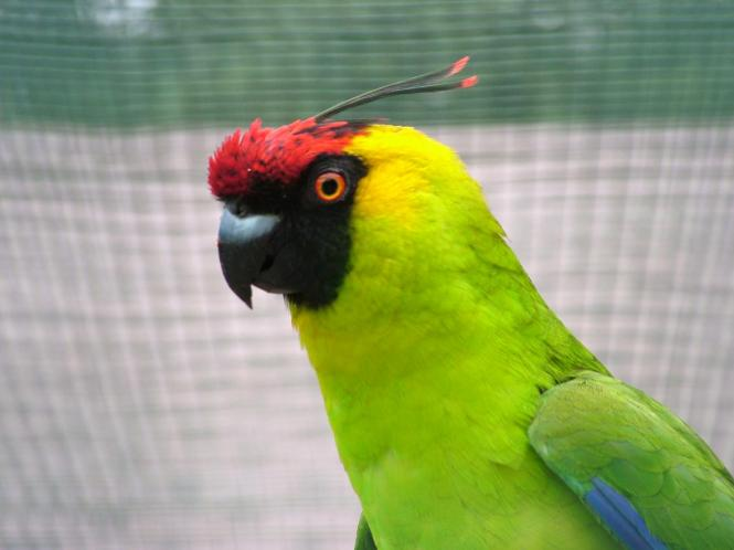 horned parakeet.jpg