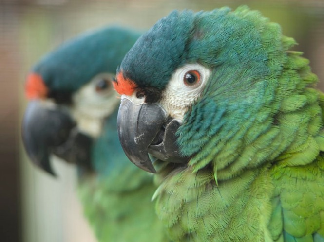 illigers macaw.jpg