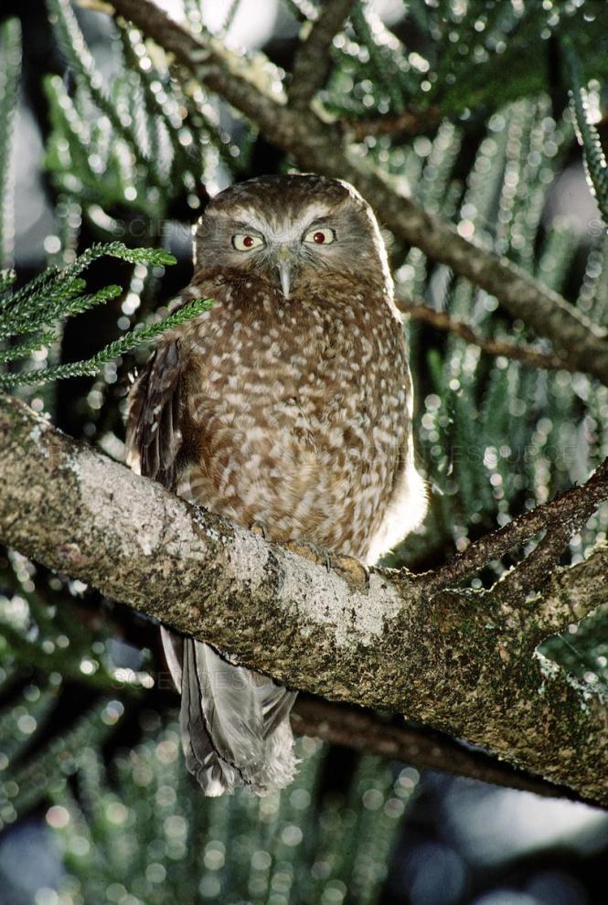 Norfolk Island Boobook Owl.jpg