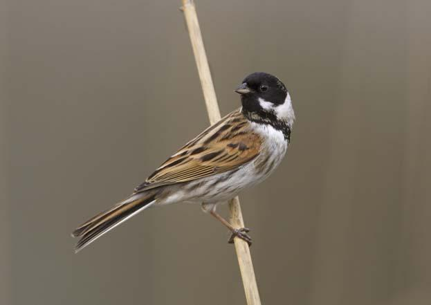 005448-Reed Bunting-Cutting