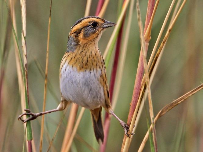 Sharp-tailed Sparrow