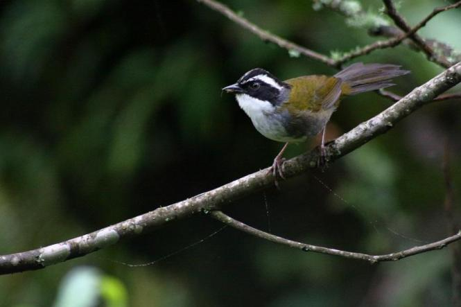 White-browed Brush-finch.jpg