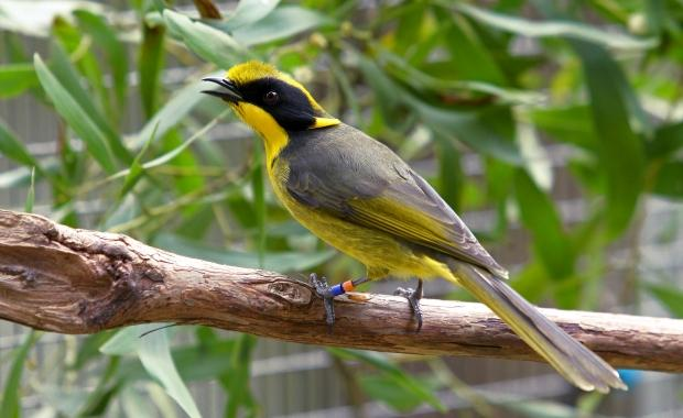 Helmeted Honeyeater.jpg