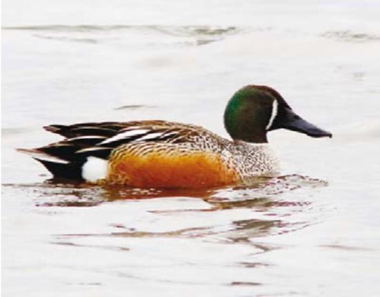 hybrid duck.jpg