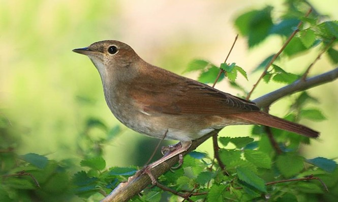 Thrush-nightingale