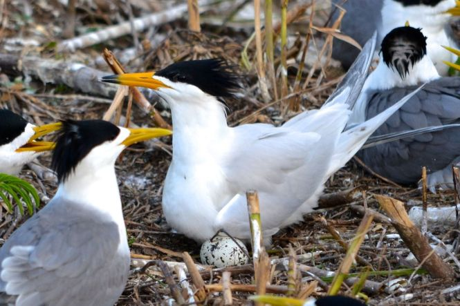 Chinese_crested_tern_colony.jpg