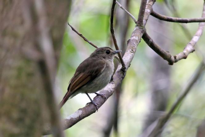 Henna-tailed_Jungle-flycatcher_10.jpg