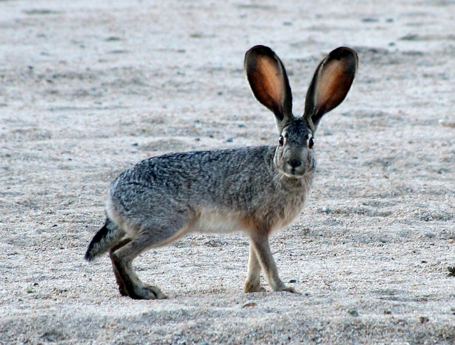 Jackrabbit2_crop.JPG