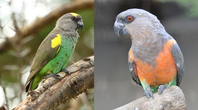 poicephalus parrots.jpg