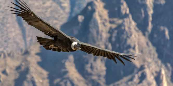 subject-andean condor.jpg