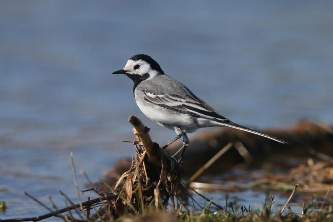 whitewagtail.jpg