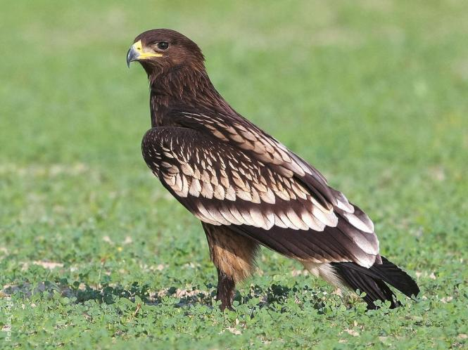 greater-spotted-eagle.jpg