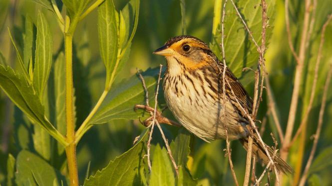 saltmarsh sparrow.jpg