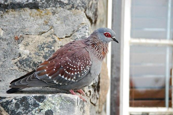 speckled pigeon.JPG
