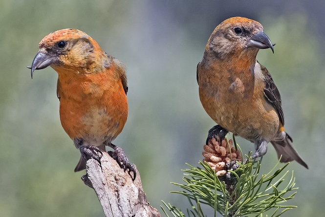 Red_Crossbills_(Male).jpg
