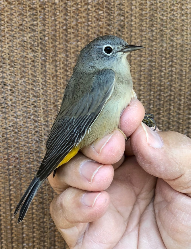 2070-84858 hybrid warbler AHY M return on 91918 copy.jpg