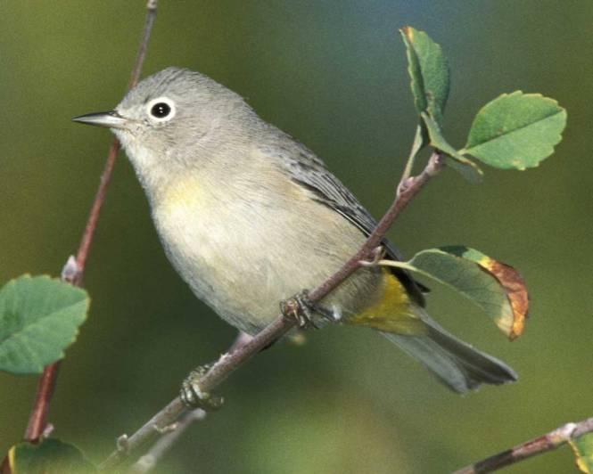 virginias warbler.jpg