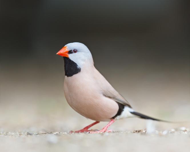Poephila_acuticauda_-_Bird_Walk.jpg