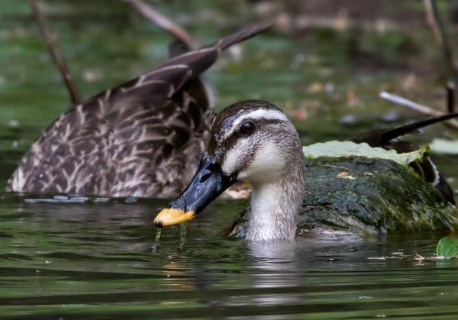 spot-billed duck.jpg
