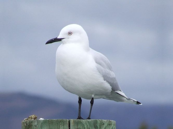 black-billed gull.JPG