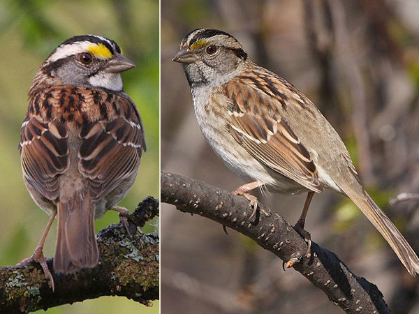 white-throated-sparrows