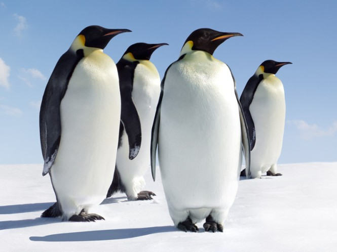 Emperor_penguins.jpg