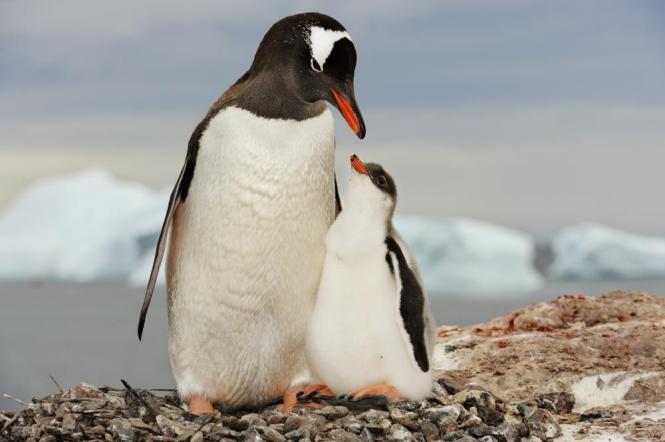 gentoo-penguin-chick.jpg