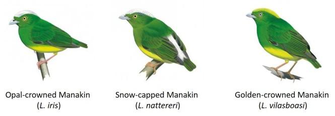 manakins