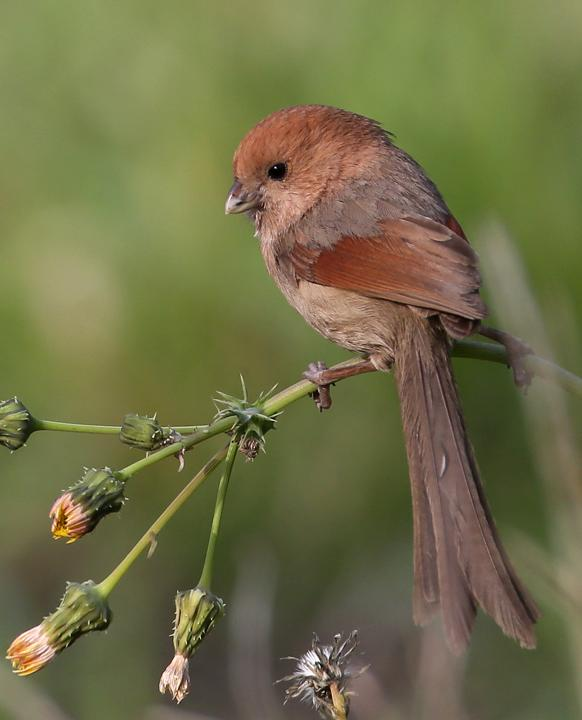 vinous-throated parrotbill.jpg