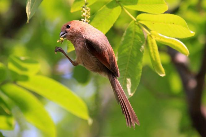 Vinous-throated_Parrotbill_07.jpg