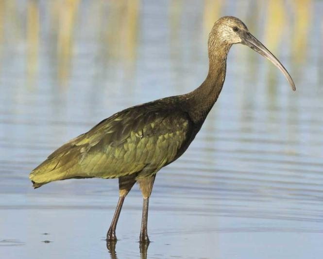 White-faced_Ibis.jpg