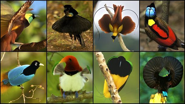 Birds-of-paradise-variation.jpg